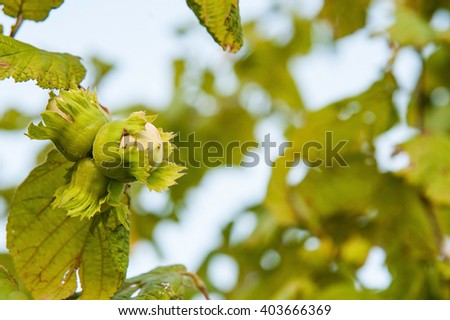 branch with green hazelnuts on the garden - stock photo