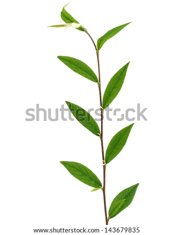 branch with green leafs isolated on white background - stock photo