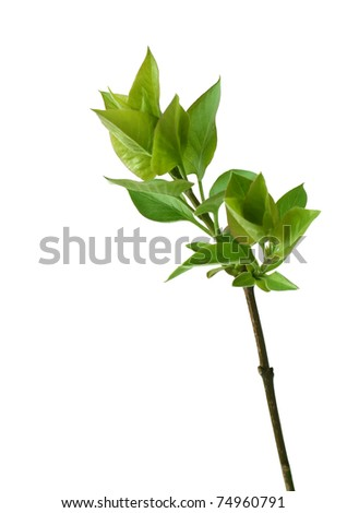 branch with green leafs isolated on white background