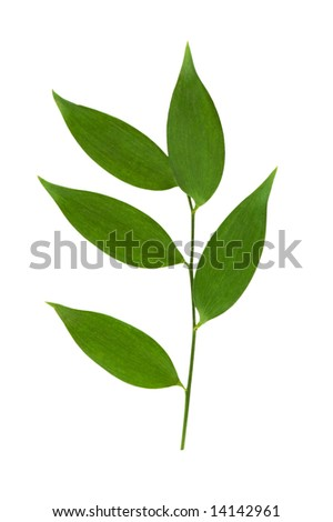 Branch with green leaves isolated on the white