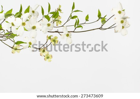 Branch with large white blossoms on wild dogwood tree in North Carolina. Close up image with white background. Likely cornus florida. Small inconspicuous flowers surrounded by four large white bracts.