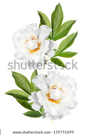 Branch with leaves and flowers two white peonies isolated on white background - stock photo