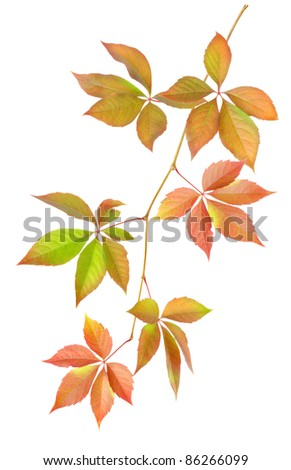 Branch with leaves isolated on white background