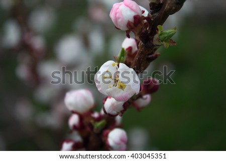 branch with little pink flowers, twig shrub with small pink flowers, flowers in the garden at springtime