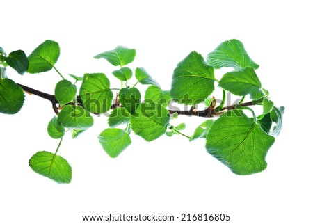 Branch with many green leaves isolated on white, structure of veining is well viewed  - stock photo