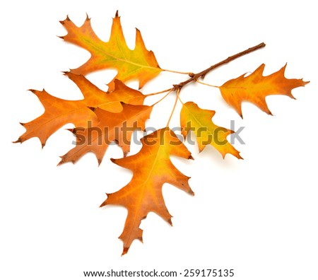 Branch with oak leaves isolated on white background - stock photo