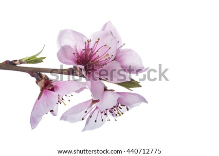 Branch with peach flowers isolated on a white background
