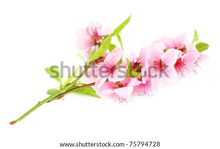 Branch with pink blossom - stock photo
