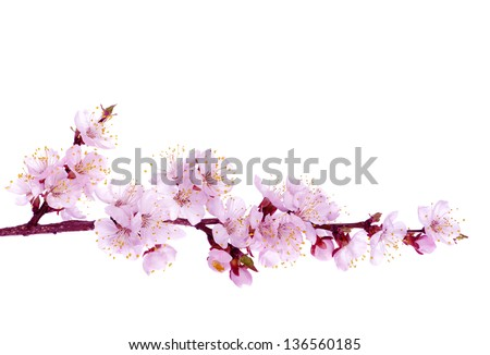 Branch with pink blossoms isolated on white - stock photo