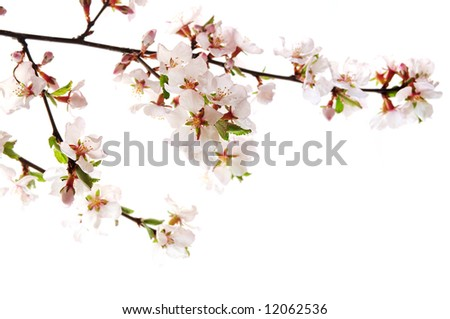 Branch with pink cherry blossoms isolated on white background - stock photo
