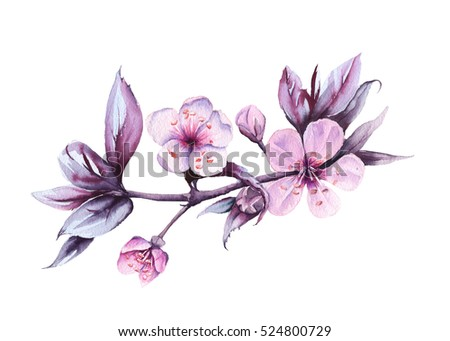 Branch with pink cherry flowers. Isolated on a white background. watercolor illustration.