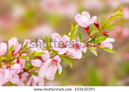 Branch with pink flowers spring - stock photo