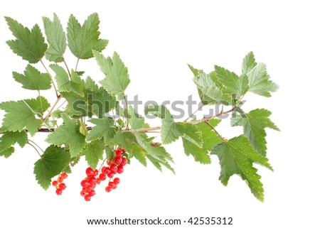 Branch with red a currant on a white background, it is isolated.