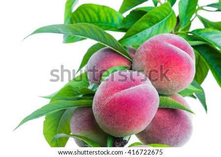 branch with ripe fruits peach on a branch isolated on a white background in macro lense shot