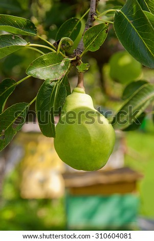 Branch with ripe juicy pear. Pear tree. Pear and leaves.
