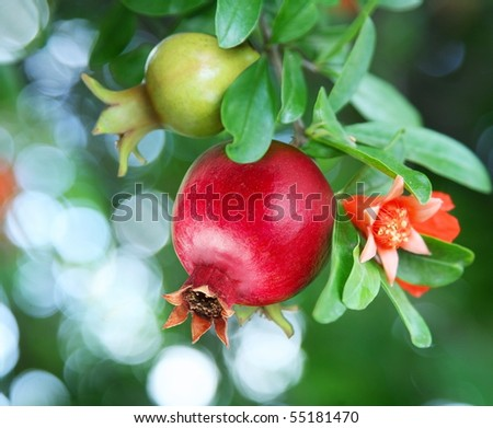 Branch with ripe pomegranate and pomegranate blossoms - stock photo