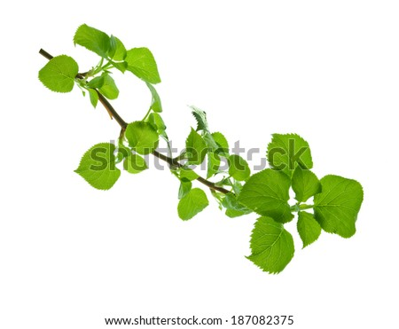 Branch with round toothed leaves with clear viewed veins, isolated on white