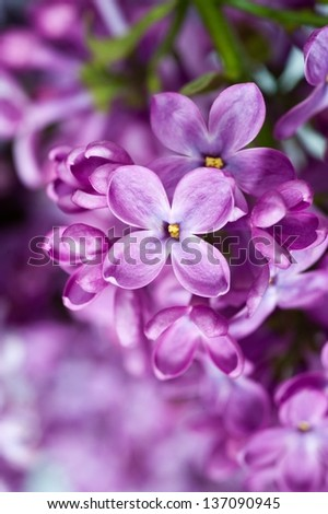 branch with spring lilac flowers - stock photo