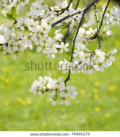 branch with white flowers on a green background - stock photo