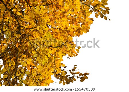 branch with yellow leaves isolated on white - stock photo