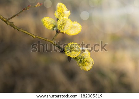 branch with yellow willow catkin, spring garden - stock photo
