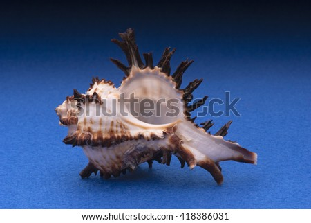 Branched murex shell in a blue background