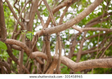 Branches and trunks of an old lilac bush.