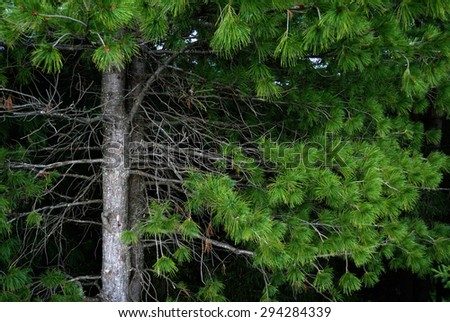 branches and trunks of cedar, horizontal frame - stock photo