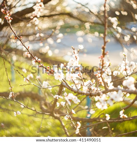 Branches and twigs of blooming tree in spring. Blossom apricot tree flowers against green grass bokeh background - stock photo