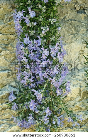 branches in bloom prostrate rosemary - stock photo