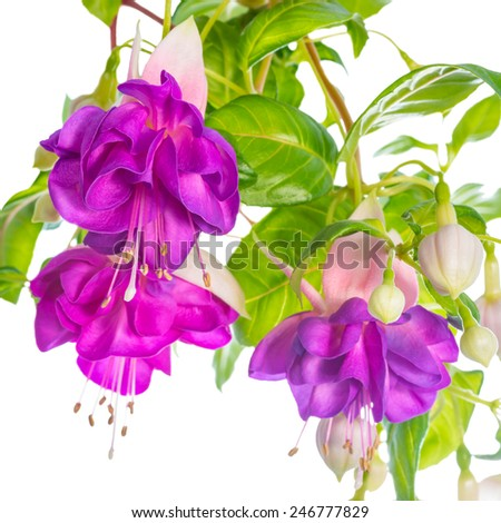 branches lilac fuchsia flower is isolated on white background, `Heydon`, closeup - stock photo