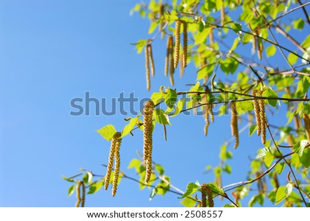 Branches of a blooming birch tree with fresh new leaves in the spring - stock photo