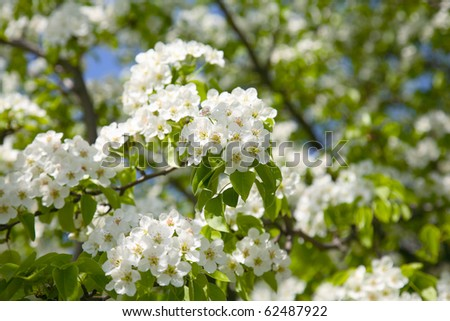 Branches of a blossoming apple-tree against the blue sky - stock photo