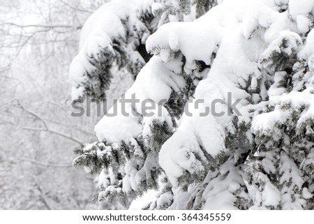 branches of a Christmas tree covered with snow natural spruce winter background
