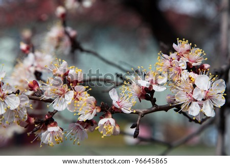 Branches of a white flowering apricots with a sunlight - stock photo