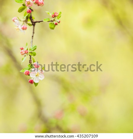 Branches of apple tree with pink flowers, natural blooming seasonal spring background. Copy space on green backdrop - stock photo