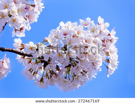 Branches of blooming apple tree with many flowers over blue sky, seoul in south korea - stock photo