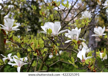 Branches of blooming magnolia with beautiful white flowers  - stock photo