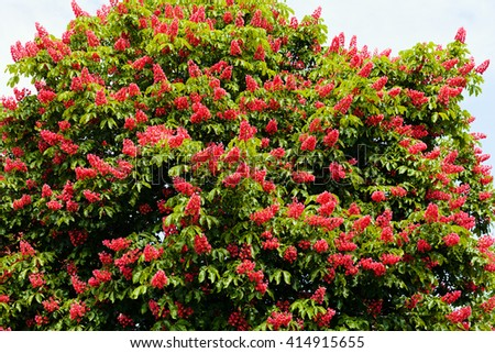 Branches of blooming red horse-chestnuts with pink flowers