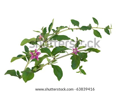 Branches of Chinese Lycium Boxthorn isolated on white with purple flowers - stock photo