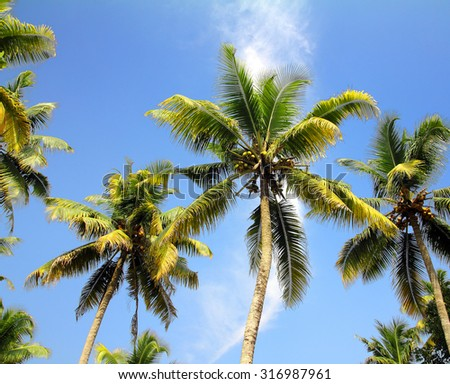 branches of coconut palms under blue sky - stock photo