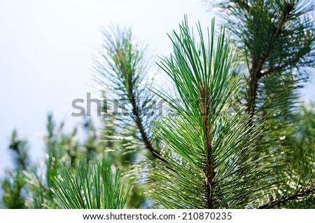 Branches of conifer - stock photo