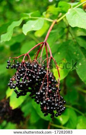 branches of elder-berry against the leaves - stock photo