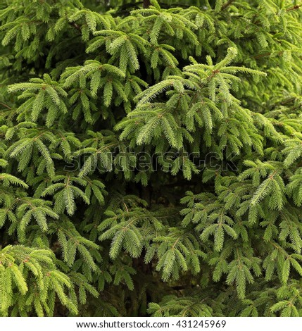 Branches of fir. Background