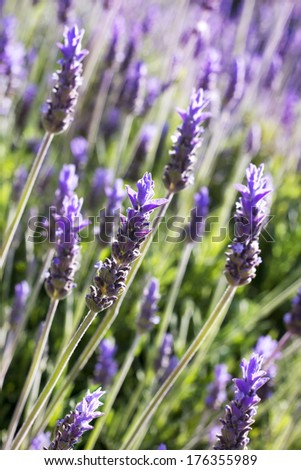 branches of flowering lavender as floral background - stock photo