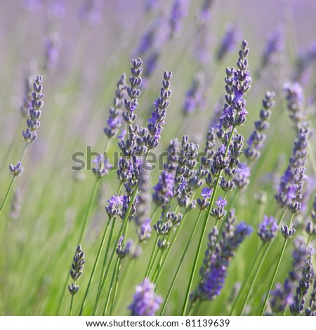 Branches of flowering lavender. Can be used as background
