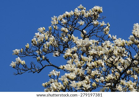 Branches of flowering white magnolia tree against blue sky - stock photo