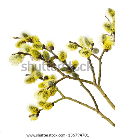 Branches of goat-willow tree isolated on white background - stock photo