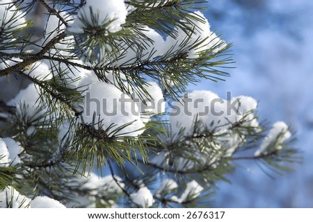 Branches of green pine covered with snow with blue sky as a background - stock photo