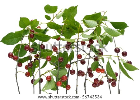 Branches of isolated on white the European cherry with ripe berries background.